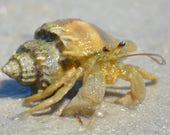 Framed Hermit Crab