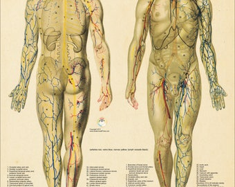 "Nerves and Blood Vessels Human Male Anatomy Poster 18"" X 24"""