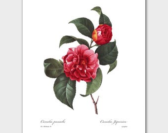 Camellia Art, Botanical Print (Red Camellia Flower, Room Wall Decor) -- Pierre Redoute