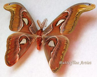 Giant Snakehead Attacus Atlas Real Moth Framed In Shadowbox