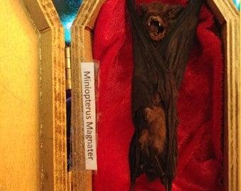 Taxidermy bat in gold coffin