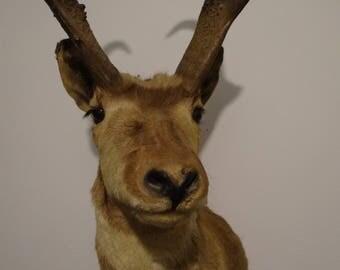 SALE Vintage Pronghorn Antelope Shoulder Wall Mount