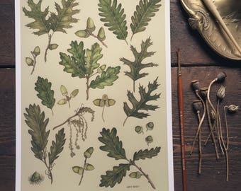 Oak Study A4 Giclee Print - Oak leaf, acorn.
