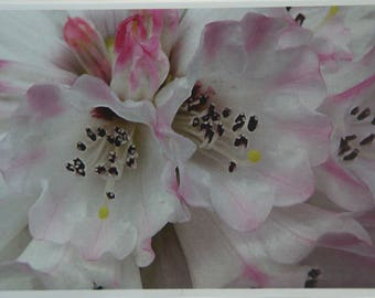 Rhododendron Pink Blush, A6 Greeting Card with Envelope.
