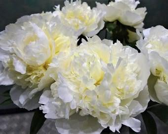 Fragrant Huge Showy Lemon-White Double Peony Marie Lemoine (5+ eye bare root) Root Plant