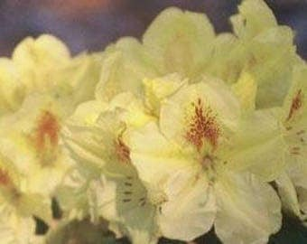 Rhododendron Absolute Citron - Bright Yellow - Will Grow to Three Feet - #2 Container Size Plant - Hardy to -15 F