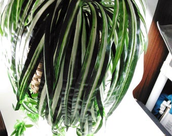 Faux  Hanging Spider Plant/Silk/ Made in China/In Brown Basket Filled With Spanish Moss At The Botttom/ New