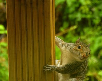 Photograph of a squirrel, on a bird table in Yorkshire garden in summer rain, giclee print