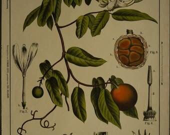 Vintage Botanical  Chart   Chart  Lithograph  Schonbluhende Kautschukliane  or Landolphia School Chart