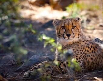 Cheetah photography, Wall decor, Wildlife Wall Art, Black and White Decor, Animal Wall Art, African Wildlife Wall Photography