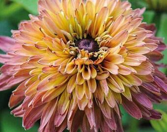 Rudbeckia 'Caramel Mix' Seeds / Rudbeckia hirta