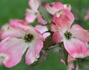 Dogwood Tree - Bloomington, Indiana - Indiana University - Spring - Nature Photography - Flowering Dogwood - Nature - Pink & Green
