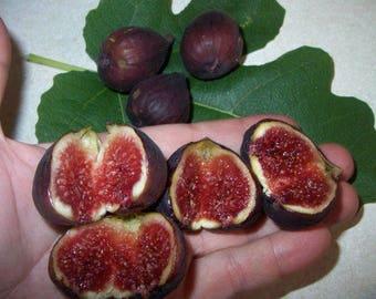 fig plant Violette de Bordeaux potted plant 6-8 inches tall