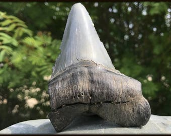 Carcharodon Megalodon Shark Tooth, Miocene, USA [FST062]