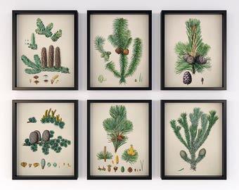 Set of 6 pinecone prints, Christmas wall art set, Vintage conifers prints, Antique pine cone decor, Winter print 11x14, Download print 8x10