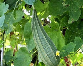 Luffa Angled Seeds Extra Long Asian Vegetable