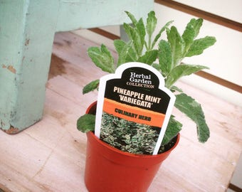 Pineapple Mint Variegata Herb (1)