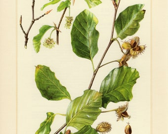Vintage lithograph of common beech or European beech from 1958