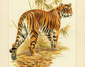 Vintage lithograph of the tiger from 1956