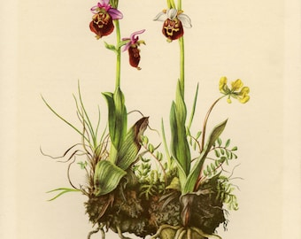 Vintage lithograph of the late spider-orchid from 1953