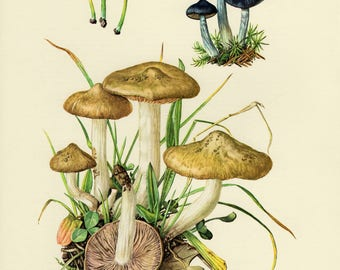 Vintage lithograph of the entoloma, pine pinkgill, shield pinkgill, green leptonia from 1963