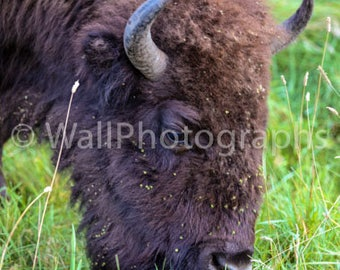 A male Buffalo grazing at Elk Island National Part in Alberta
