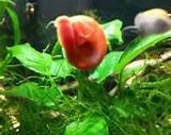Rare Creme and Gorgeous Red Bodied red shell rams horn snails LIVE SNAILS