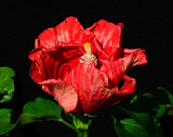 Hibiscus 1197 Red