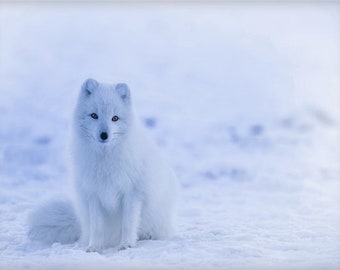 Arctic Fox in Winter Canvas Wall Art Decor Gift, Polar Artwork, Iceland, Norway, Animal, Nature, Housewarming, Bridal, Wedding, Anniversary