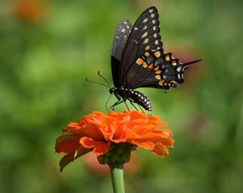 Wall Print Black Swallowtail Butterfly