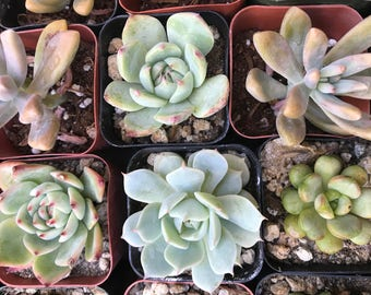 Assorted Succulent Collection of 4, 8, 12, 20