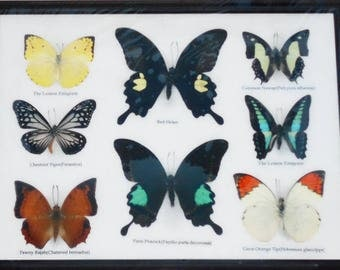 REAL 8 BEAUTIFUL BUTTERFLY Collection in Frame / BF20e