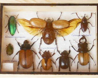 Real Mixed Beetle Cicada Insect Boxed Framed Taxidermy Display Wood Box For Collectibles /S8AA