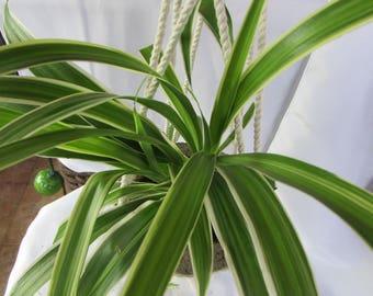 Spider Plant / Hanging Pot / Macrame