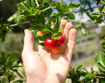 "Acerola Cherry Barbados Cherry Plant - 6"" Pot - Established Live Plant- Naturally Grown - Quality Assurance - Permaculture Plant"