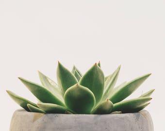 Succulent Plant Minimalist Photograph Print