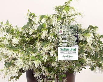 Southern Living Loropetalum Emerald Snow