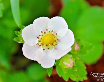 Close Up Photograph of Strawberry Flower