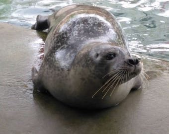 Harbor seal stock photo image free use