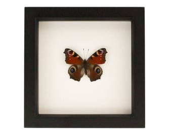 Real Framed Insect Display with  European Peacock Butterfly