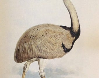 Common Rhea,   1990s Reproduction Colorplate, Book Plate, 10 x 14 in. Book Page Print, Bird Print, Ornithology Print