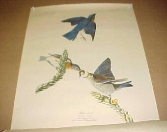 Lithograph Audubon Bird Print Blue Bird From 1950 Calendar