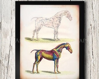 Summer Sale Anatomy of Horses Muscles Equine Veterinary Photo Poster Print Sizes 8x10 to 24x30 Unusual Gift