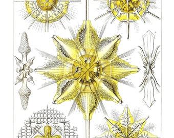 Ernst Haeckel's Vintage Artwork Acanthometra