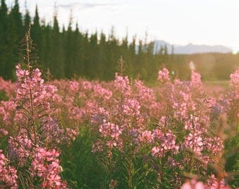Fireweed photo taken from film negative