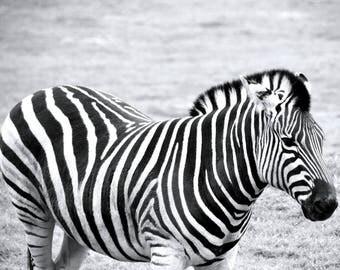 Black and White Animal Collection - Zebra