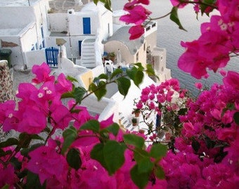 Bougainvillea seeds,159, summer flower, greek seeds, greek flowers, gardening,summer in greece, greek island flower,