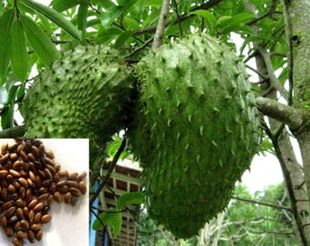 12 Seeds of Rare and Precious Annona Muricata Graviola Soursop Tree for Growing