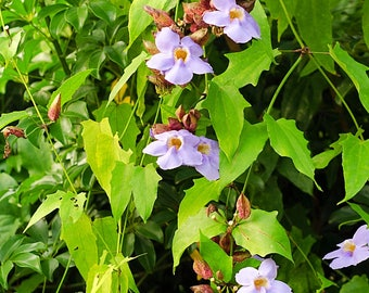 "Rang Jued (Thunbergia laurifolia) Live Medicinal Flowering Vine Plant in 4"" Ecofriendly Pot"