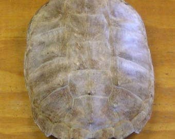 """Large 12"""" Snapping Turtle Shell without Scutes"""